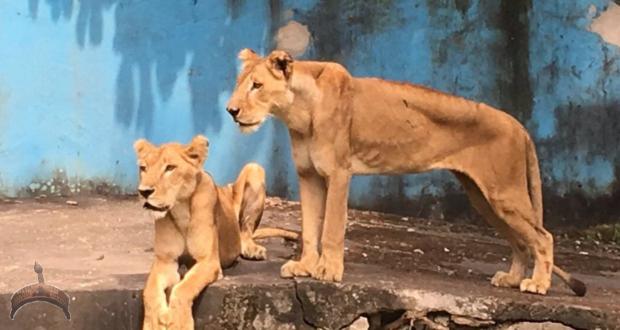 Nigerian lions kept in Port Harcourt zoo.