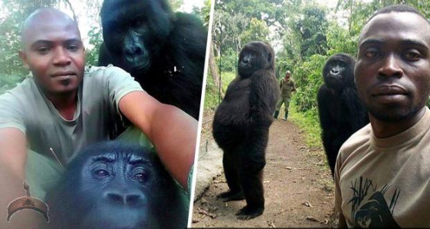 Gorillas Pose For Selfies With Anti-Poaching Rangers