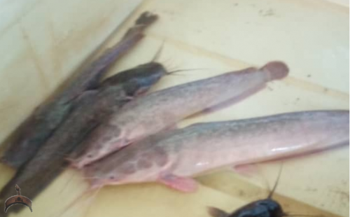 Color Changes In African Catfish