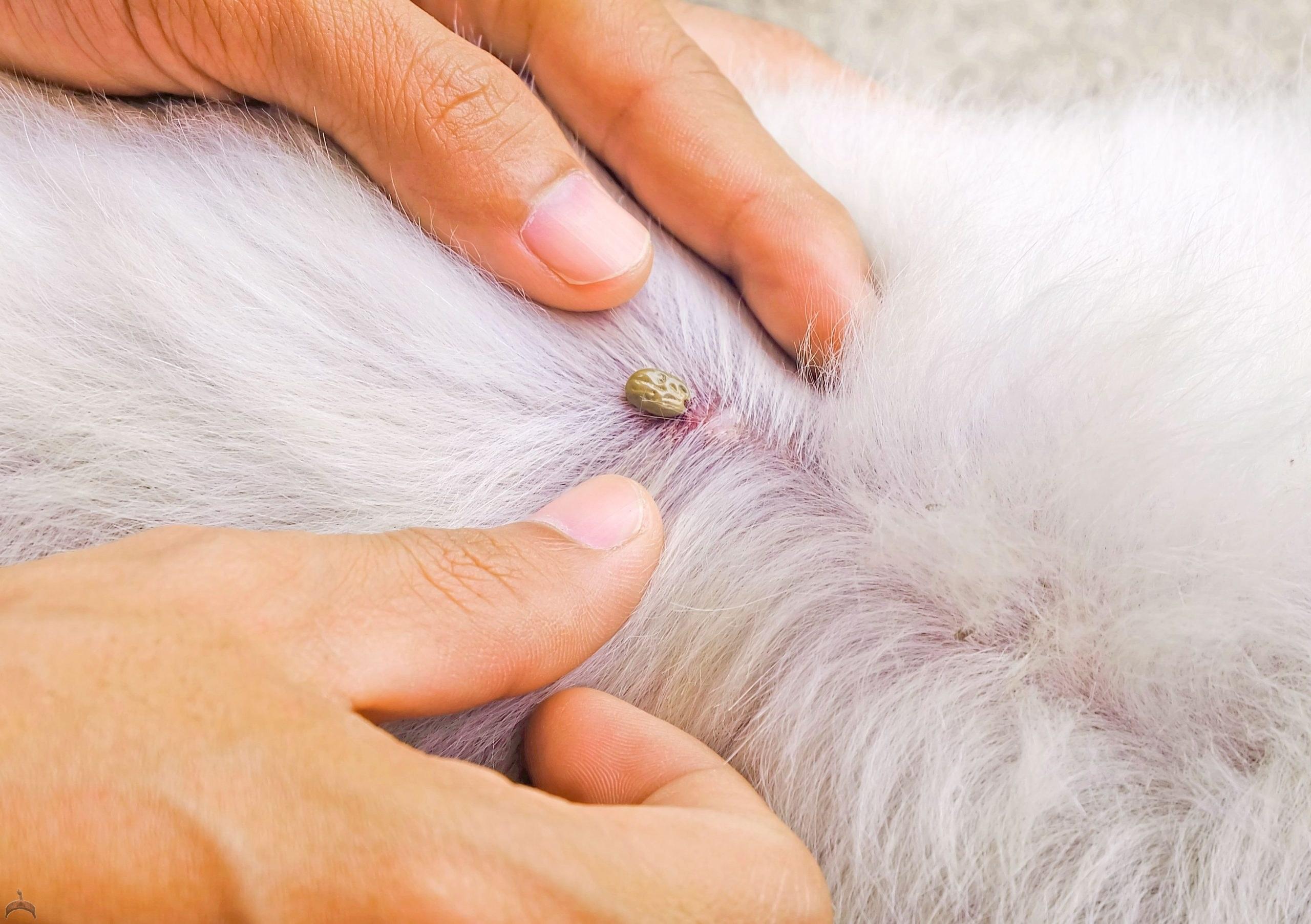 tick suck blood on dog back royalty free image