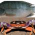 eja Akan fish crab